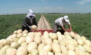 Рекордный урожай дынь и арбузов собрали в ЮКО